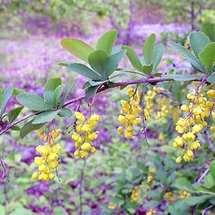 Flowers: Berberis vulgaris. ~ By Arthur Haines. ~ Copyright © 2021 Arthur Haines. ~ arthur.d.haines[at]gmail.com