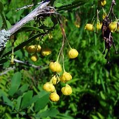 Flowers: Berberis vulgaris. ~ By Arthur Haines. ~ Copyright © 2021. ~ arthurhaines[at]wildblue.net