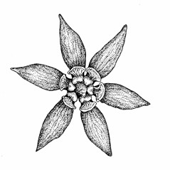 Flowers: Caulophyllum giganteum. ~ By Elizabeth Farnsworth. ~ Copyright © 2021 New England Wild Flower Society. ~ Image Request, images[at]newenglandwild.org