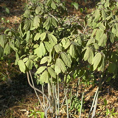 Leaves: Caulophyllum giganteum. ~ By Bruce Patterson. ~ Copyright © 2020 Bruce Patterson. ~ foxpatterson[at]comcast.net