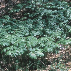 Plant form: Podophyllum peltatum. ~ By Adelaide Pratt. ~ Copyright © 2021 New England Wild Flower Society. ~ Image Request, images[at]newenglandwild.org