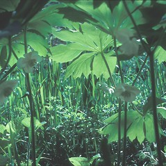 Plant form: Podophyllum peltatum. ~ By John Lynch. ~ Copyright © 2021 New England Wild Flower Society. ~ Image Request, images[at]newenglandwild.org