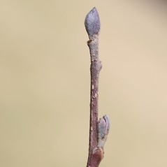Winter buds: Alnus glutinosa. ~ By Arieh Tal. ~ Copyright © 2021 Arieh Tal. ~ www.nttlphoto.com ~ Arieh Tal - www.nttlphoto.com