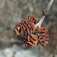 Fruits: Alnus incana. ~ By Arthur Haines. ~ Copyright © 2020. ~ arthurhaines[at]wildblue.net