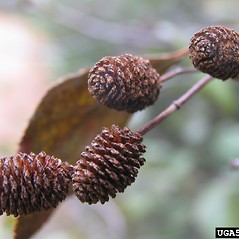 Fruits: Alnus serrulata. ~ By Joseph O'Brien. ~ Copyright © 2021 CC BY-NC 3.0. ~  ~ Bugwood - www.forestryimages.org