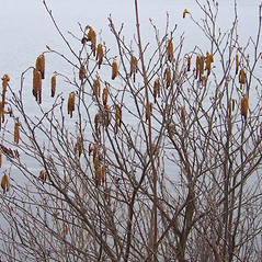 Plant form: Alnus serrulata. ~ By Luba Batuner. ~ Copyright © 2020 Luba Batuner. ~ No permission required for any use ~ Salicicola - www.salicicola.com/