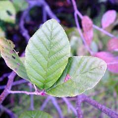Leaves: Alnus serrulata. ~ By Arthur Haines. ~ Copyright © 2020. ~ arthurhaines[at]wildblue.net