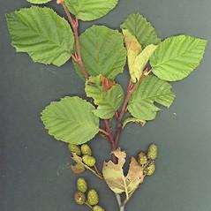 Leaves: Alnus viridis. ~ By Glen Mittelhauser. ~ Copyright © 2021 Glen Mittelhauser. ~ www.mainenaturalhistory.org