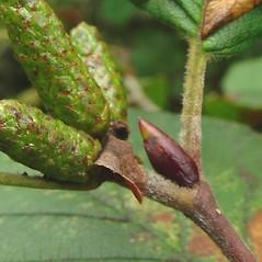 Winter buds: Alnus viridis. ~ By Glen Mittelhauser. ~ Copyright © 2021 Glen Mittelhauser. ~ www.mainenaturalhistory.org