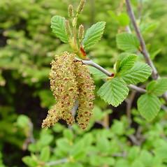 Flowers: Alnus viridis. ~ By Arthur Haines. ~ Copyright © 2021. ~ arthurhaines[at]wildblue.net