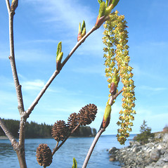 Flowers: Alnus viridis. ~ By Donna Kausen. ~ Copyright © 2020 Donna Kausen. ~ 33 Bears Den, Addison, ME 04606