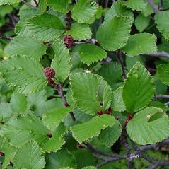 Leaves: Alnus viridis. ~ By Arthur Haines. ~ Copyright © 2021. ~ arthurhaines[at]wildblue.net