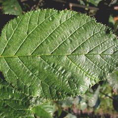 Leaves: Alnus viridis. ~ By Marilee Lovit. ~ Copyright © 2021 Marilee Lovit. ~ lovitm[at]gmail.com