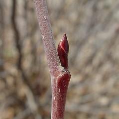 Winter buds: Alnus viridis. ~ By Arthur Haines. ~ Copyright © 2021. ~ arthurhaines[at]wildblue.net