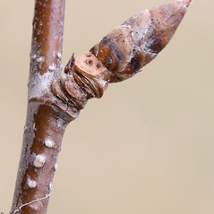 Winter buds: Betula alleghaniensis. ~ By Arieh Tal. ~ Copyright © 2020 Arieh Tal. ~ http://botphoto.com/ ~ Arieh Tal - botphoto.com