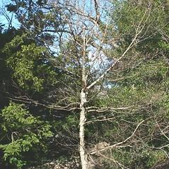 Plant form: Betula cordifolia. ~ By Arieh Tal. ~ Copyright © 2020 Arieh Tal. ~ http://botphoto.com/ ~ Arieh Tal - botphoto.com