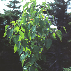 Plant form: Betula cordifolia. ~ By Vermont Nongame & Natural Heritage Program. ~ Copyright © 2020 Vermont Nongame & Natural Heritage Program. ~ Bob.Popp[at]state.vt.us ~ Vt Nongame & Natural Heritage Program