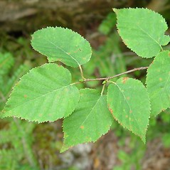 Leaves: Betula cordifolia. ~ By Arthur Haines. ~ Copyright © 2021. ~ arthurhaines[at]wildblue.net