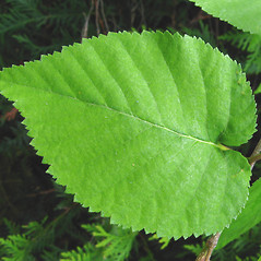 Leaves: Betula cordifolia. ~ By Donna Kausen. ~ Copyright © 2021 Donna Kausen. ~ 33 Bears Den, Addison, ME 04606
