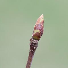 Winter buds: Betula cordifolia. ~ By Arieh Tal. ~ Copyright © 2020 Arieh Tal. ~ http://botphoto.com/ ~ Arieh Tal - botphoto.com