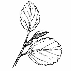Leaves: Betula glandulosa. ~ By Gordon Morrison. ~ Copyright © 2019 New England Wild Flower Society. ~ Image Request, images[at]newenglandwild.org