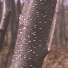 Bark: Betula lenta. ~ By Carol Levine. ~ Copyright © 2020 Carol Levine. ~ carolflora[at]optonline.net