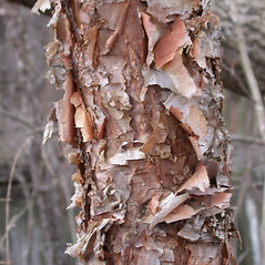 Bark: Betula nigra. ~ By Richard Snellgrove. ~ Copyright © 2020 Richard Snellgrove. ~ dicksnell[at]comcast.net