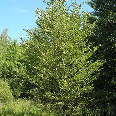 Plant form: Betula nigra. ~ By Bruce Patterson. ~ Copyright © 2020 Bruce Patterson. ~ foxpatterson[at]comcast.net