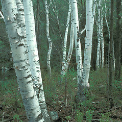 Plant form: Betula papyrifera. ~ By John Lynch. ~ Copyright © 2020 New England Wild Flower Society. ~ Image Request, images[at]newenglandwild.org