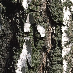 Bark: Betula pendula. ~ By Gil Wojciech. ~ Copyright © 2020 CC BY-NC 3.0. ~  ~ Bugwood - www.bugwood.org/