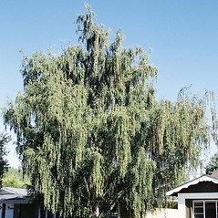 Plant form: Betula pendula. ~ By Tom DeGomez. ~ Copyright © 2020 CC BY-NC 3.0. ~  ~ Bugwood - www.bugwood.org/
