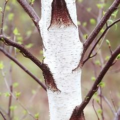 Bark: Betula populifolia. ~ By Arieh Tal. ~ Copyright © 2021 Arieh Tal. ~ www.nttlphoto.com ~ Arieh Tal - www.nttlphoto.com