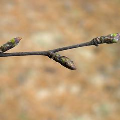 Winter buds: Betula pubescens. ~ By Bruce Patterson. ~ Copyright © 2020 Bruce Patterson. ~ foxpatterson[at]comcast.net