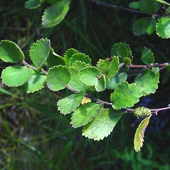 Leaves: Betula pumila. ~ By Arthur Haines. ~ Copyright © 2021. ~ arthurhaines[at]wildblue.net