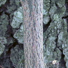 Bark: Corylus cornuta. ~ By Arthur Haines. ~ Copyright © 2021. ~ arthurhaines[at]wildblue.net