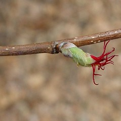 Flowers: Corylus cornuta. ~ By Arthur Haines. ~ Copyright © 2021. ~ arthurhaines[at]wildblue.net