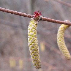 Flowers: Corylus cornuta. ~ By Donald Cameron. ~ Copyright © 2021 Donald Cameron. ~ No permission needed for non-commercial uses, with proper credit