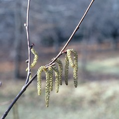 Flowers: Corylus cornuta. ~ By Glenn Dreyer. ~ Copyright © 2021 Glenn Dreyer. ~ None needed