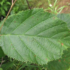 Leaves: Corylus cornuta. ~ By Marilee Lovit. ~ Copyright © 2021 Marilee Lovit. ~ lovitm[at]gmail.com