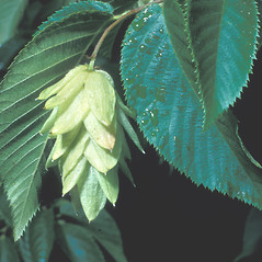 Fruits: Ostrya virginiana. ~ By Frank Bramley. ~ Copyright © 2020 New England Wild Flower Society. ~ Image Request, images[at]newenglandwild.org