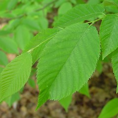 Leaves: Ostrya virginiana. ~ By Arthur Haines. ~ Copyright © 2020. ~ arthurhaines[at]wildblue.net