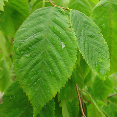 Leaves: Ostrya virginiana. ~ By Glen Mittelhauser. ~ Copyright © 2020 Glen Mittelhauser. ~ www.mainenaturalhistory.org
