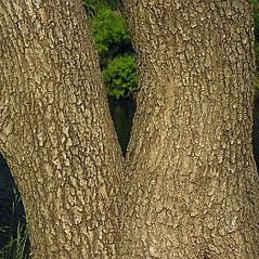 Bark: Catalpa bignonioides. ~ By Will Cook. ~ Copyright © 2020 Will Cook. ~ cwcook[at]duke.edu, carolinanature.com ~ North Carolina Plant Photos - www.carolinanature.com/plants/
