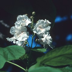 Flowers: Catalpa bignonioides. ~ By Glenn Dreyer. ~ Copyright © 2020 Glenn Dreyer. ~ None needed