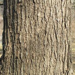 Bark: Catalpa ovata. ~ By Bruce Patterson. ~ Copyright © 2019 Bruce Patterson. ~ foxpatterson[at]comcast.net