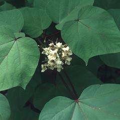 Leaves: Catalpa ovata. ~ By Robert Freckmann. ~ Copyright © 2019 Robert Freckmann. ~ rfreckma[at]uwsp.edu ~ Robert W. Freckmann Herbarium, U. of Wisconsin-Stevens Point