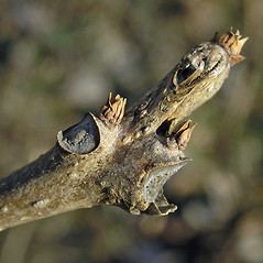 Winter buds: Catalpa ovata. ~ By Bruce Patterson. ~ Copyright © 2019 Bruce Patterson. ~ foxpatterson[at]comcast.net