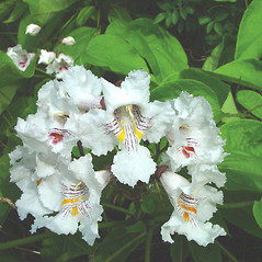 Flowers: Catalpa speciosa. ~ By Arthur Haines. ~ Copyright © 2020. ~ arthurhaines[at]wildblue.net
