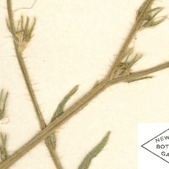 Fruits: Amsinckia eastwoodiae. ~ By William and Linda Steere and the C.V. Starr Virtual Herbarium. ~ Copyright © 2020 William and Linda Steere and the C.V. Starr Virtual Herbarium. ~ Barbara Thiers, Director; bthiers[at]nybg.org ~ C.V. Starr Herbarium - NY Botanical Gardens