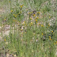 Plant form: Amsinckia menziesii. ~ By Keir Morse. ~ Copyright © 2021 Keir Morse. ~ www.keiriosity.com ~ www.keiriosity.com